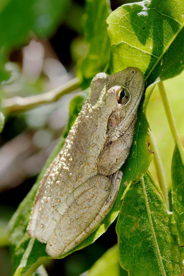 Kubanischer Baum-Frosch lizenzfreie stockfotos