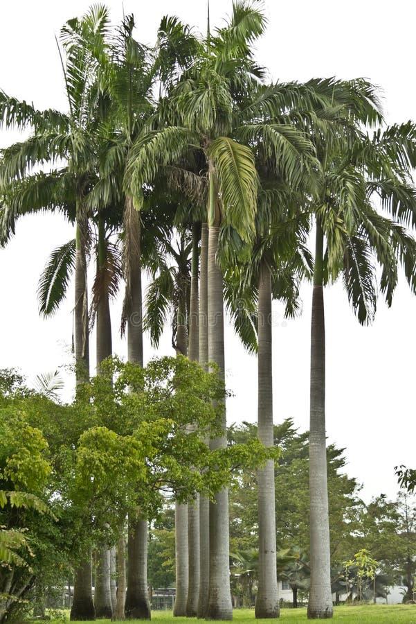 Kubanischer Königpalme-Baum stockfotos