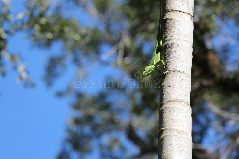 Kubanisches Ritteranolis auf einer hohen Palme lizenzfreies stockfoto