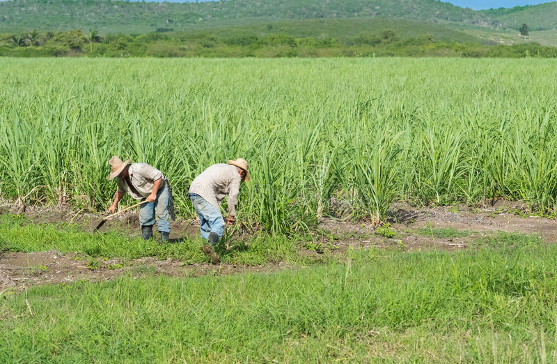 Kubanska bönder och skördearbetare på rottingfältet under plockningen - Serie Kubareportage royaltyfria bilder