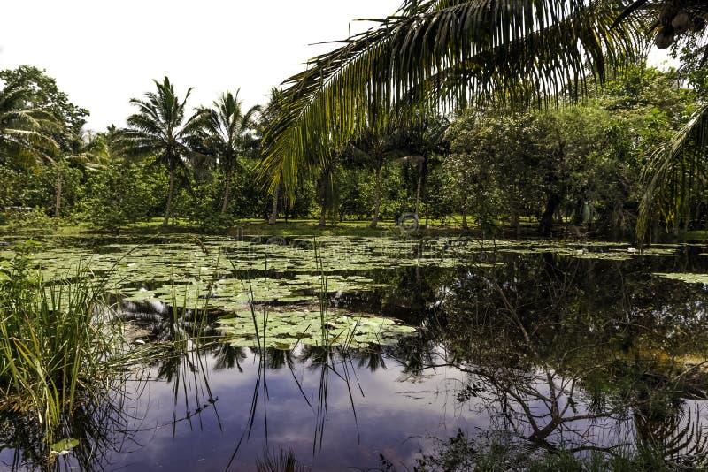 Kubanskt träsk - Halvö de Zapata nationalpark/Zapata träsk, Kuba fotografering för bildbyråer