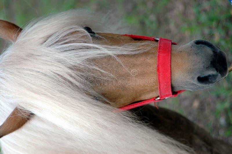 kucyk Shetland zdjęcie stock