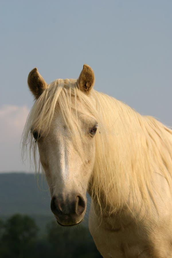 kucyk Welsh zdjęcie stock