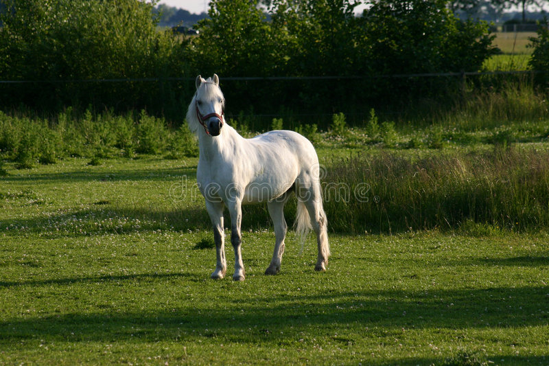 Download Kucyk Welsh zdjęcie stock. Obraz złożonej z łąka, konik - 145506