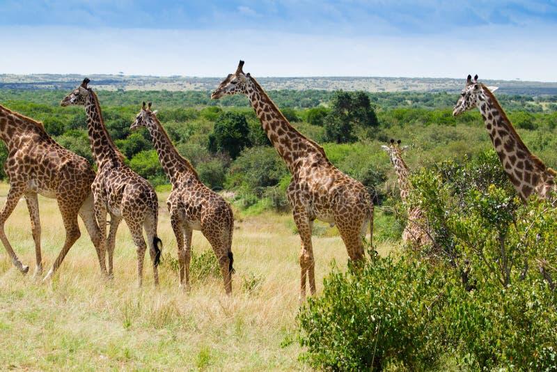 Kudde als giraffen in het Nationale Park van Masai mara stock fotografie