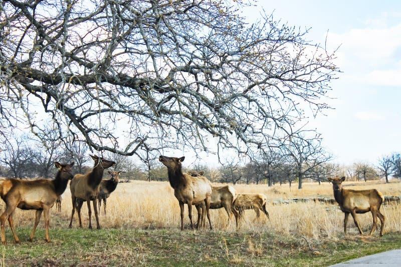 Kudde die van eenjarige elanden die onlangs gespoten bladeren van een overlanging lidmaat in de zeer vroege lente eten ruien stock foto's