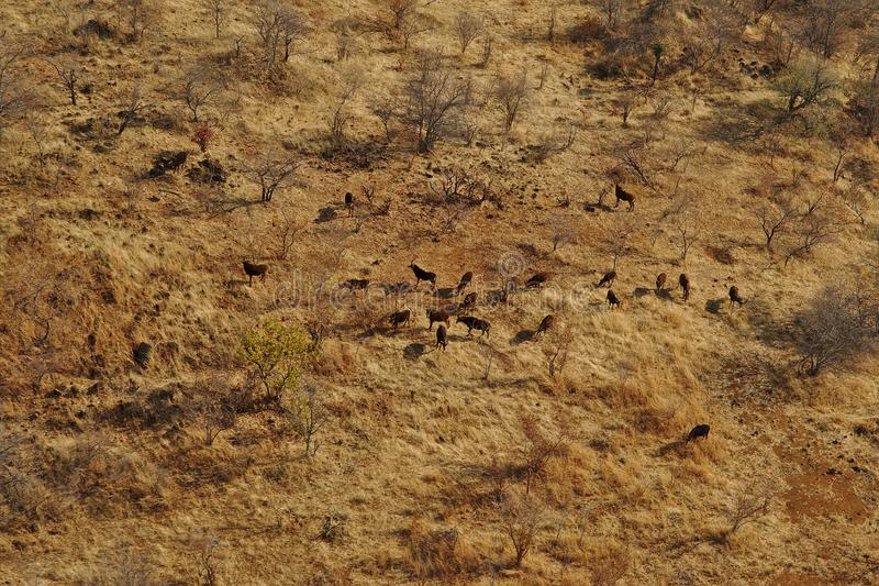 Kudde luchtmening Roan equinus van antilopenhippotragus van helikopter wordt gezien die stock fotografie