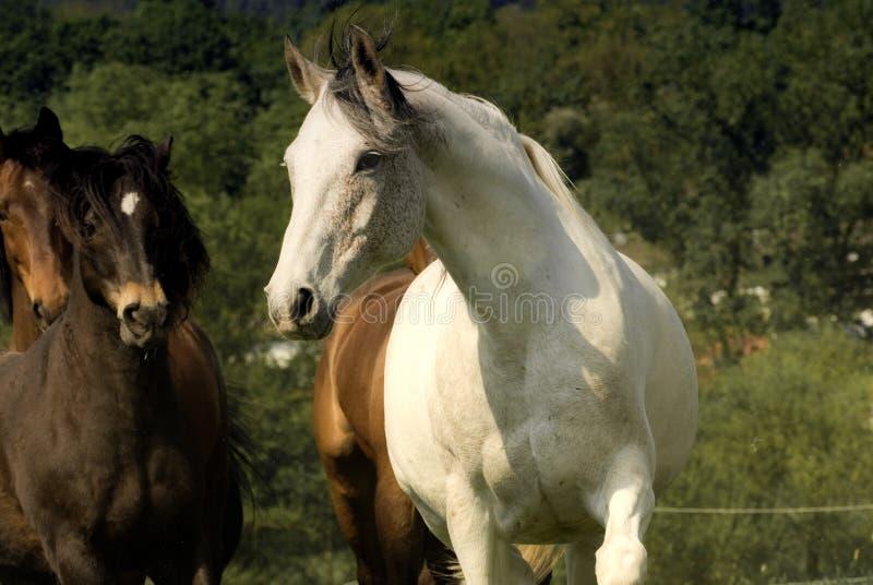 Kudde met wit paard bij voorzijde stock afbeeldingen