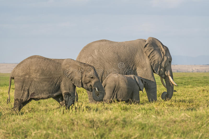Kudde van Afrikaanse Bush-Olifanten royalty-vrije stock fotografie