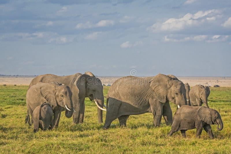 Kudde van Afrikaanse Bush-Olifanten stock foto
