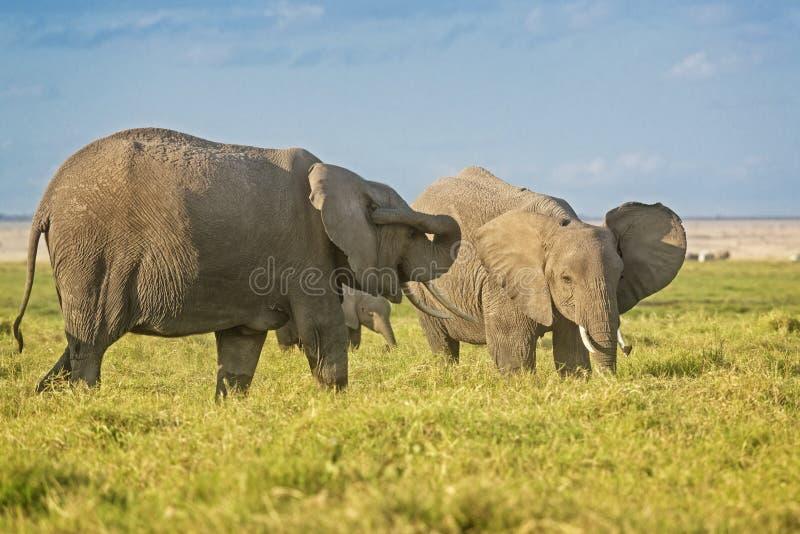 Kudde van Afrikaanse Olifanten royalty-vrije stock foto