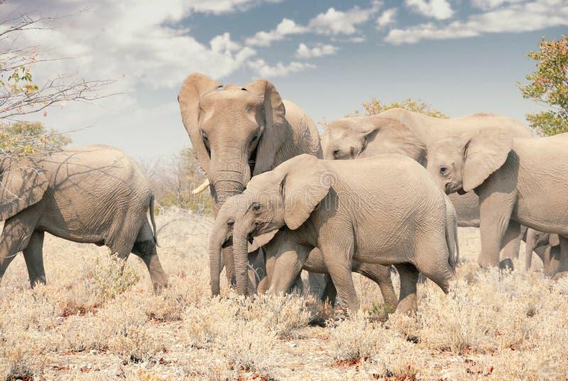 Kudde van Afrikaanse Olifanten in het Nationale Park van Namibië - van Etosha royalty-vrije stock foto's