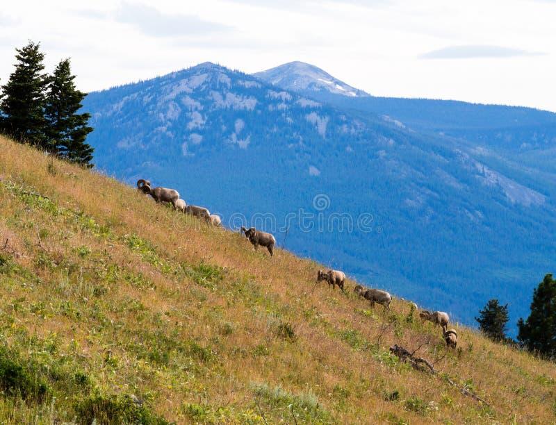 Kudde van Amerikaanse bighornschapen die op een berghelling weiden stock foto's