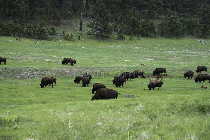 Kudde van Amerikaanse Buffels in Custer State Park royalty-vrije stock afbeelding
