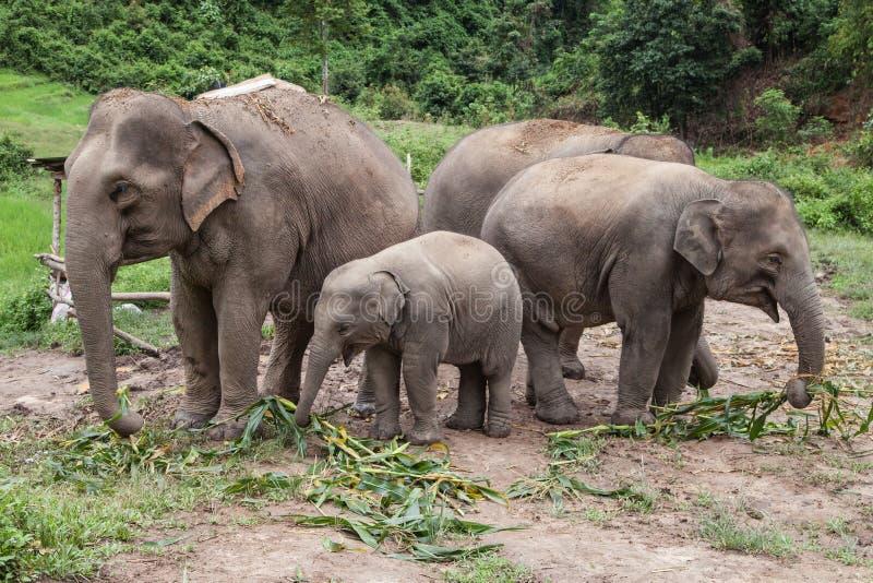 Kudde van Aziatische Olifanten die Bamboe eten royalty-vrije stock foto