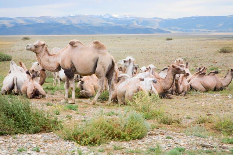 Kudde van Bactrische kamelen royalty-vrije stock fotografie