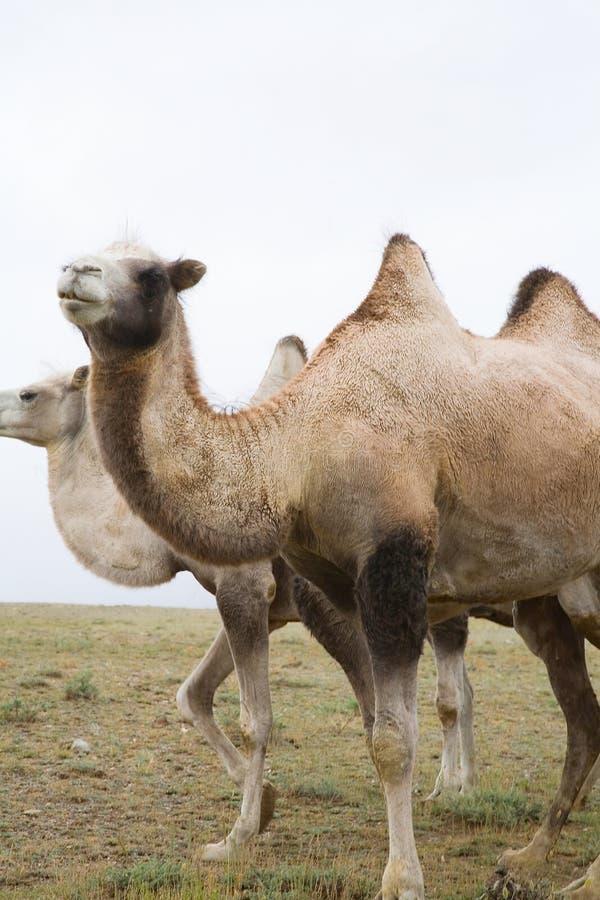 Kudde van Bactrische kamelen stock afbeeldingen
