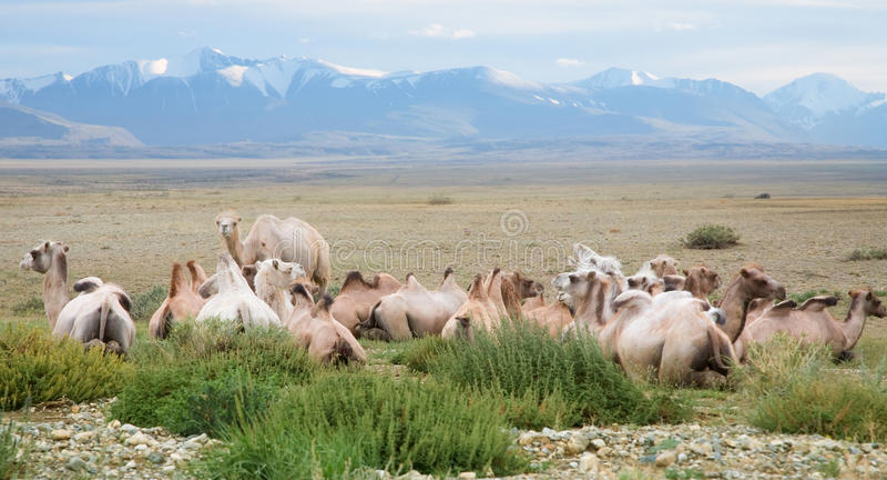 Kudde van Bactrische kamelen royalty-vrije stock foto's