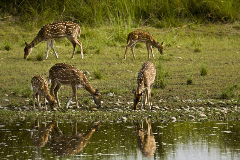 Kudde van bevlekt deers drinkwater in riverbank, Bardia, Nepal royalty-vrije stock afbeeldingen