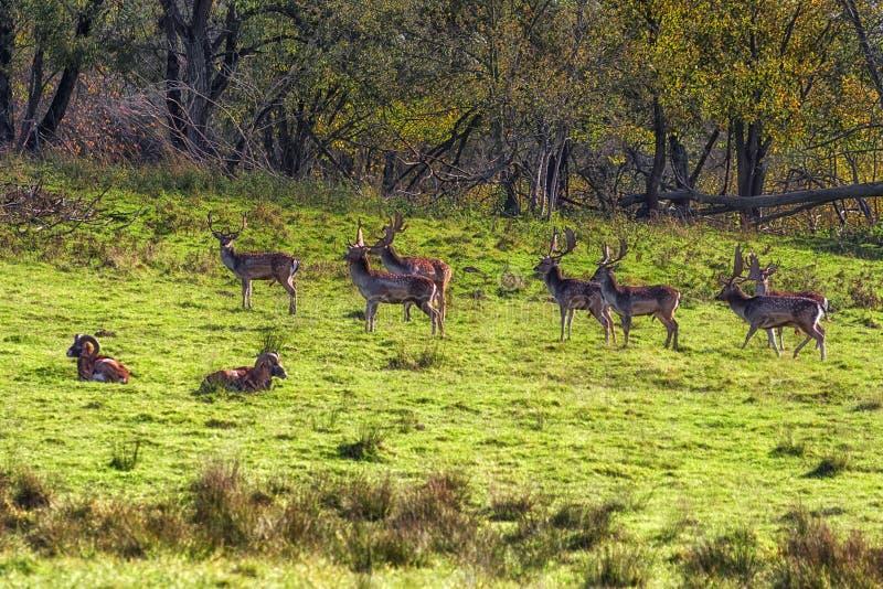 Kudde van Braakakker Deers royalty-vrije stock afbeelding