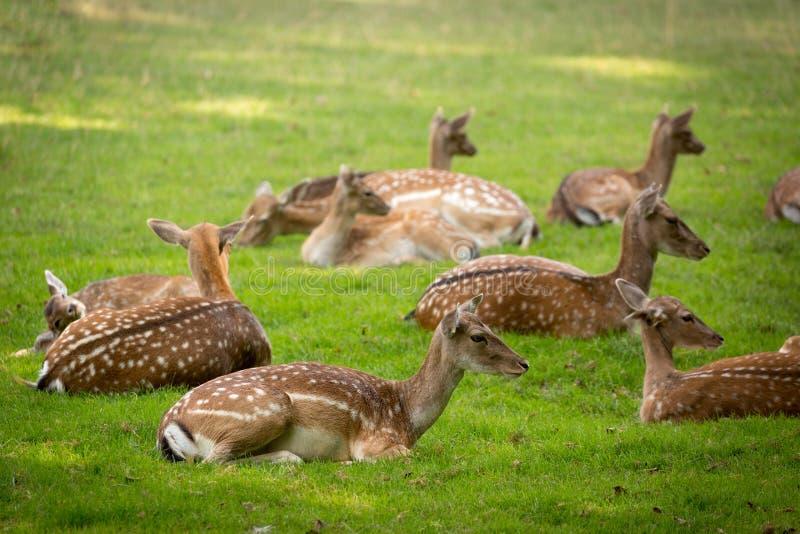Kudde van Braakakker Deers (lat damadama) op een weide stock afbeelding