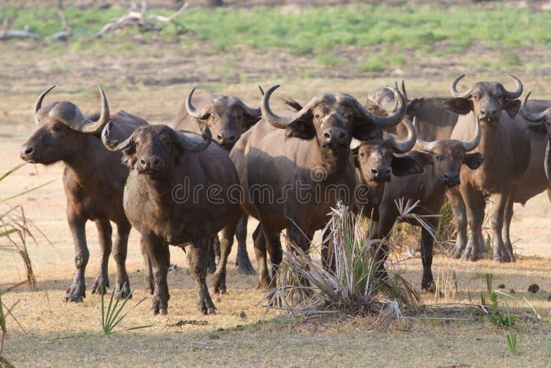 Kudde van buffels royalty-vrije stock foto