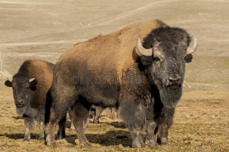 Kudde van buffels stock fotografie
