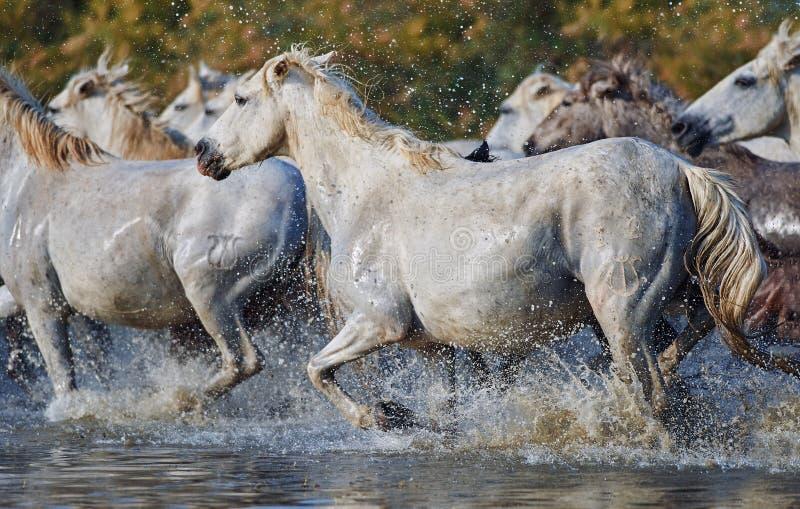Kudde van Camargue-paarden in de reserve royalty-vrije stock fotografie