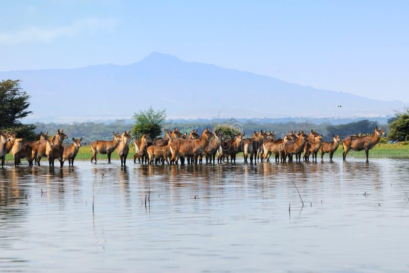 Kudde van de antilopen Waterbuck in het water stock foto's