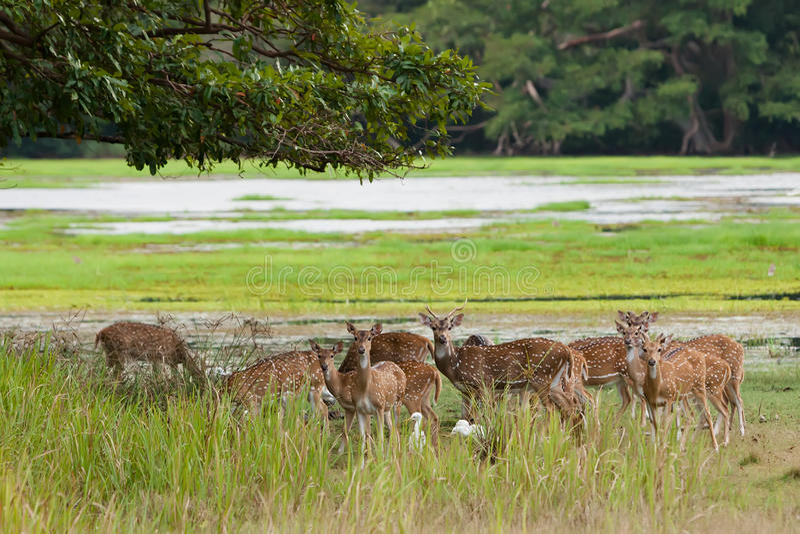 Kudde van de asherten van Sri Lankan in het nationale park van Yala stock foto