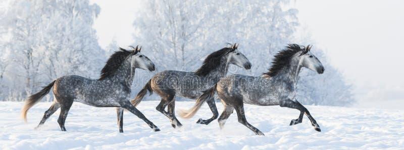 Kudde van de galop van de paardenlooppas over sneeuwgebied royalty-vrije stock foto