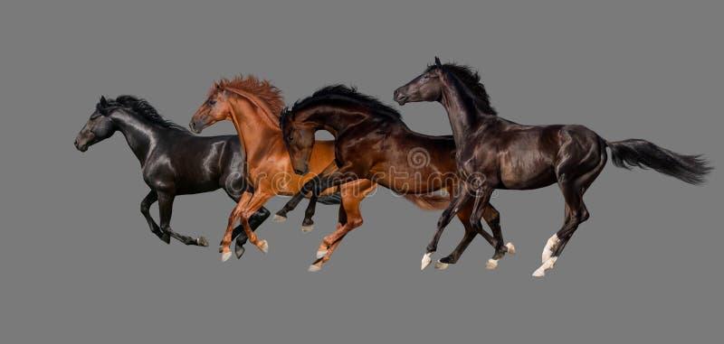 Kudde van de galop van de paardlooppas stock afbeelding