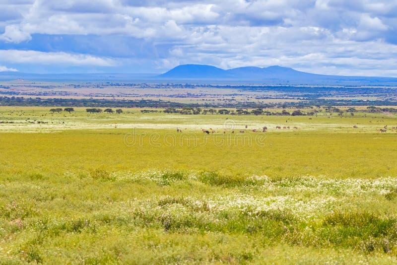 Kudde van de gestreepte migratie van Wildebeest bij het Nationale Park van Serengeti in Tanzania, Afrika stock fotografie