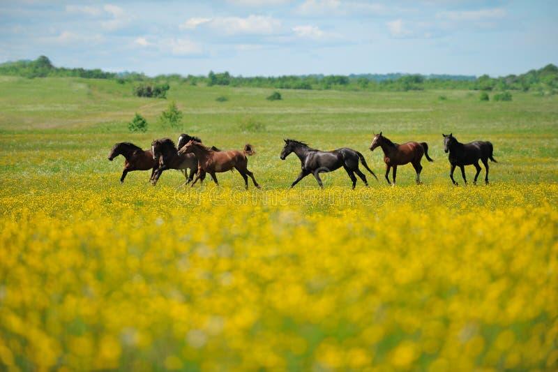 Kudde van de paarden op het gebied stock foto's