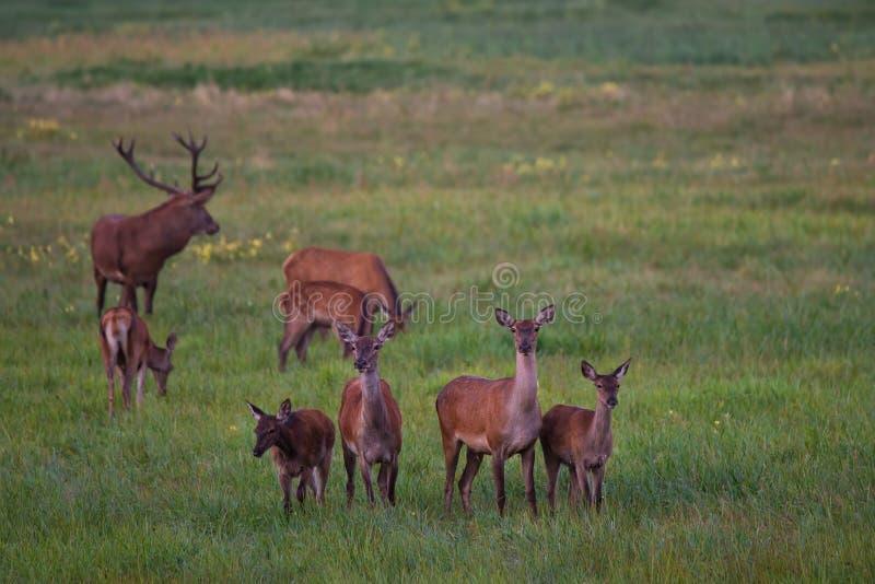 Kudde van Edele Herten Cervidae Graze On een Groene Weide met Paardebloemen Acht Verschillende Leeftijden Rode Herten: Één Mannet royalty-vrije stock foto