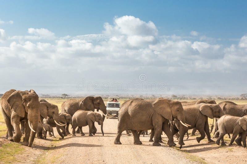 Kudde van grote wilde olifanten die vuilroadi in het nationale park van Amboseli, Kenia kruisen royalty-vrije stock foto's