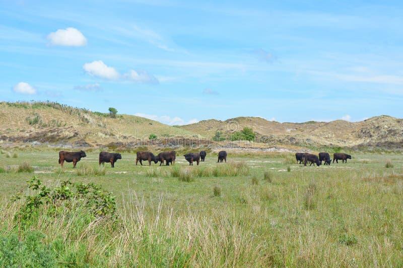 Kudde van het donkere bruine wilde vee van Galloway in nationaal park DE Muy in Nederland op Texel stock foto's