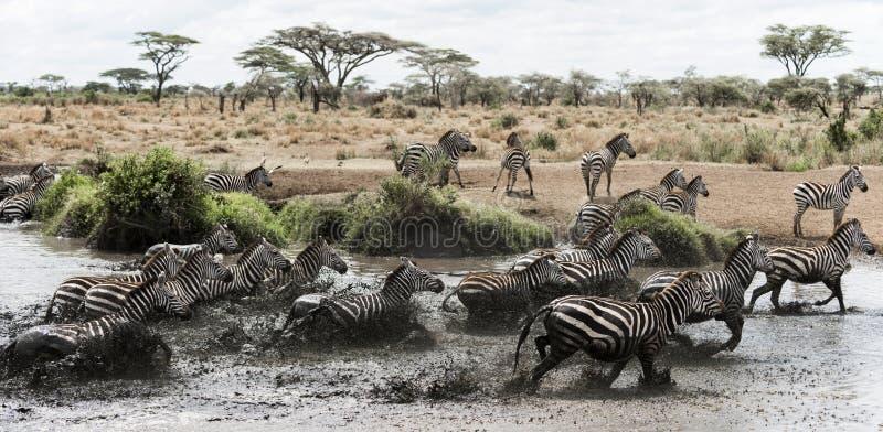 Kudde van het gestreepte galopperen in een rivier, Serengeti, Tanzania royalty-vrije stock foto