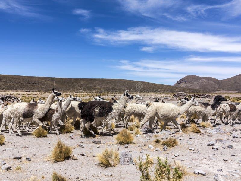 Kudde van het lopen lama's in de Andes stock afbeelding