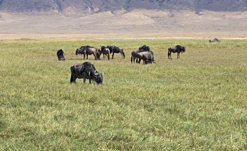 Kudde van het meest wildebeest royalty-vrije stock afbeeldingen