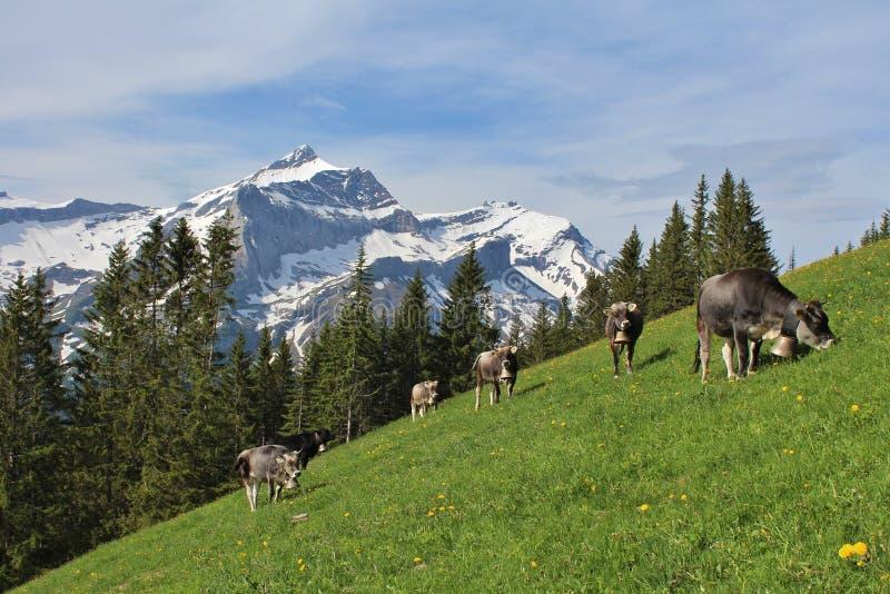 Kudde van het weiden van koeien royalty-vrije stock foto's