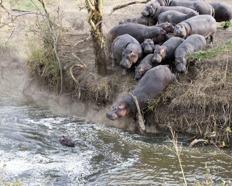 Kudde van Hippos die in de rivier van land verpletteren stock fotografie