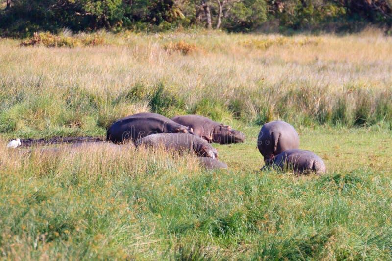 Kudde van hippos die, het Nationale Park van Kruger, Zuid-Afrika slapen stock afbeelding