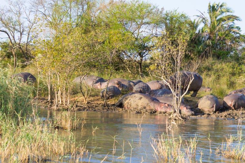 Kudde van hippos die, Isimangaliso-het Park van het Moerasland, Zuid-Afrika slapen royalty-vrije stock afbeelding