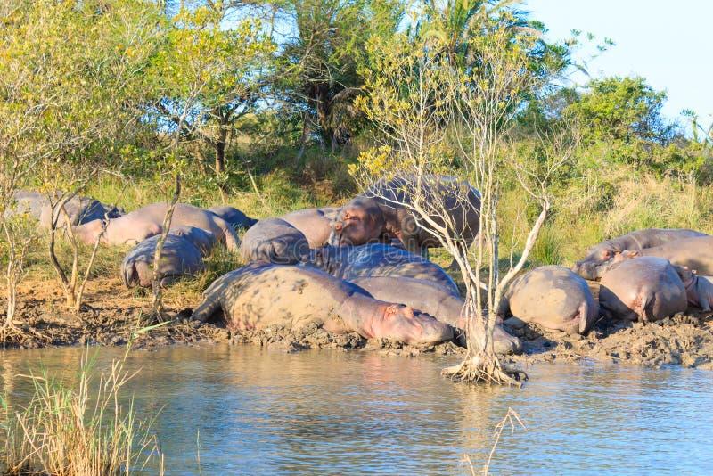 Kudde van hippos die, Isimangaliso-het Park van het Moerasland, Zuid-Afrika slapen stock foto