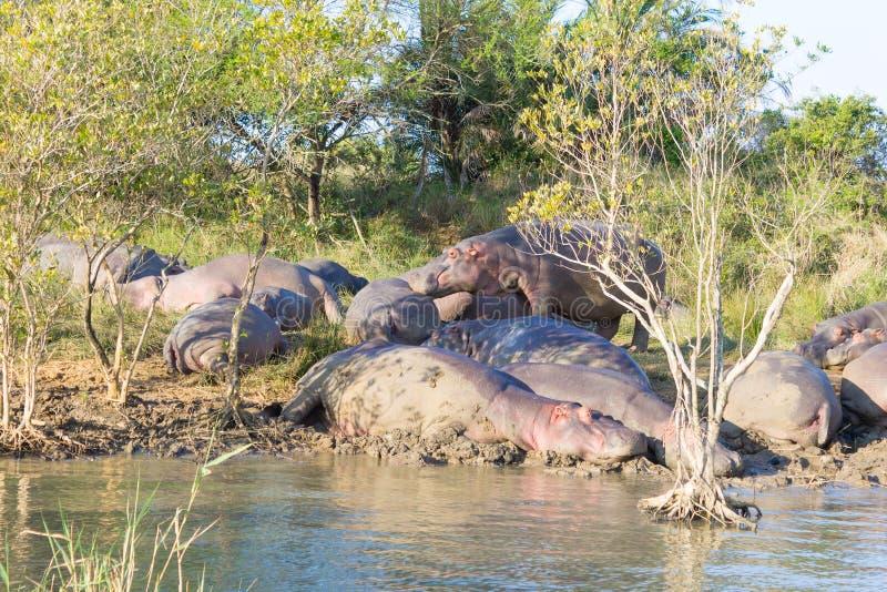 Kudde van hippos die, Isimangaliso-het Park van het Moerasland, Zuid-Afrika slapen stock fotografie