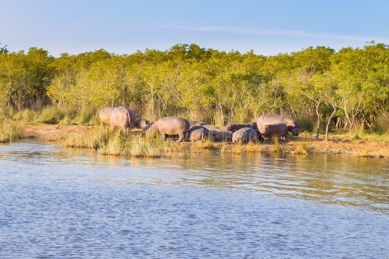 Kudde van hippos die, Isimangaliso-het Park van het Moerasland, Zuid-Afrika slapen royalty-vrije stock foto's