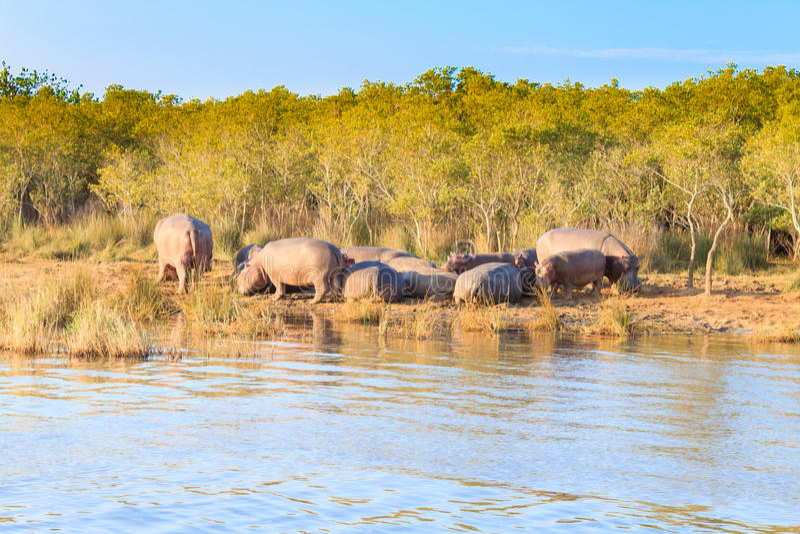Kudde van hippos die, Isimangaliso-het Park van het Moerasland, Zuid-Afrika slapen royalty-vrije stock fotografie
