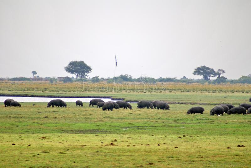 Kudde van hippos het weiden royalty-vrije stock fotografie