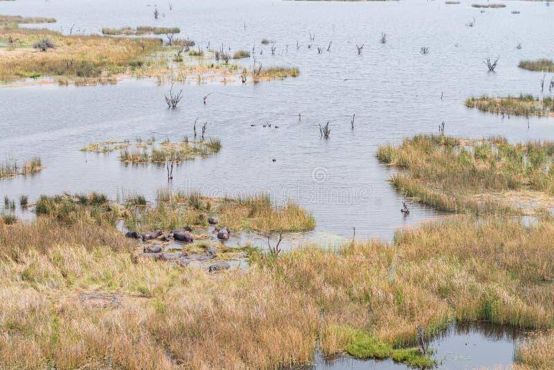 Kudde van Hippos in Okavango Deltabotswana stock afbeelding